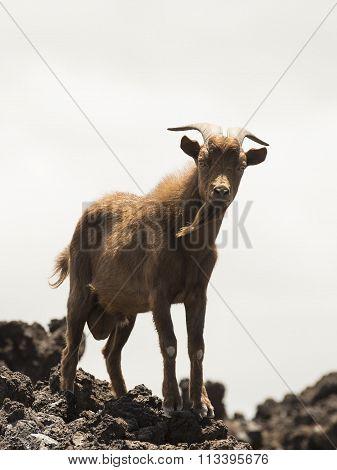 Wild Billy Goat