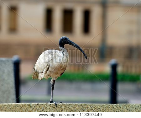 Ibis in the city, bird in blur city background, Australian Ibis, Australian Ibis in Sydney city, Aus