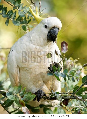 New Guinea,big white parrot in green blur background,parrot isolated on tree background, selective f
