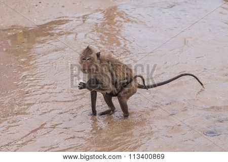 Monkey. Crab-eating Macaque. Asia Thailand