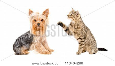 Yorkshire Terrier and playful cat Scottish Straight