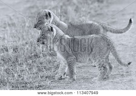 Two Lion Cubs Exploring To Bush Artistic Convesion