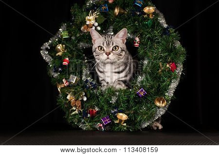 American shorthaired cat in Christmas decoration