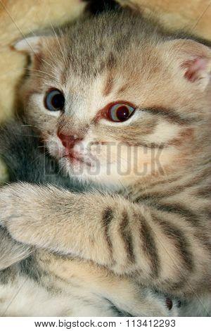 Little Kitty Of Scottish Fold