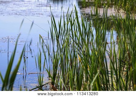 Wild Grass Sedge Grows On Bank Of The Lake