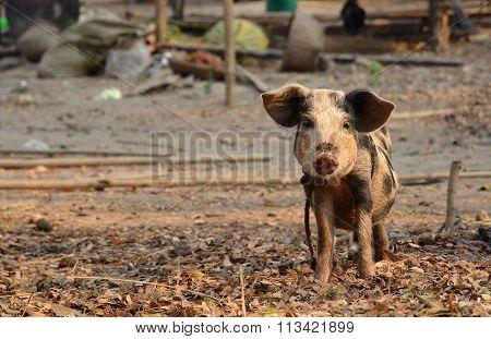 Little Pig In Myanmar Village