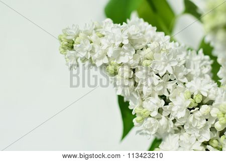 White Lilac Flower Closeup