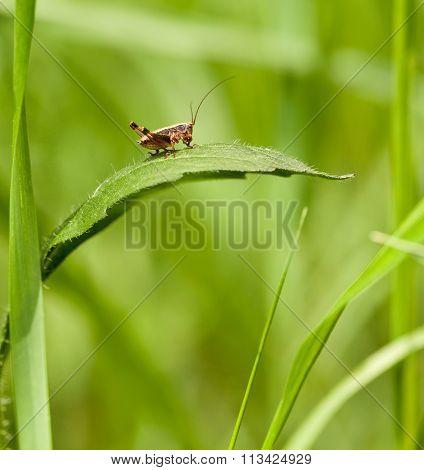 Macro Of Grasshopper Nymph