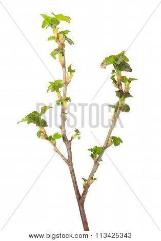 Blackcurrant Springtime Brunch