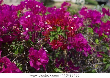 Beautiful Pink Bougainvillaea