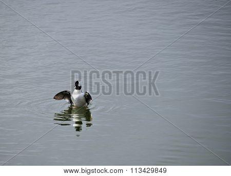 buffle head duck