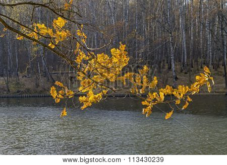 Branch Of An Oak With Yellow Leaves In The Sunlight