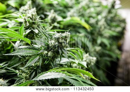 Indoor Marijuana bud with lots of crystals