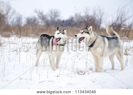Two siberian husky stands at snow