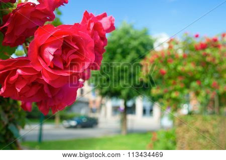 Bright Red Roses Against The City Street In The Sunny Summer Day