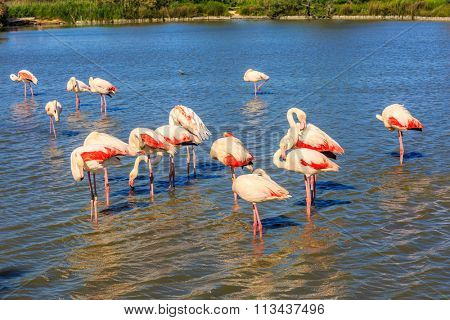 Sunset National Park in Camargue, Provence, France. Large flock of pink flamingos arranged to sleep