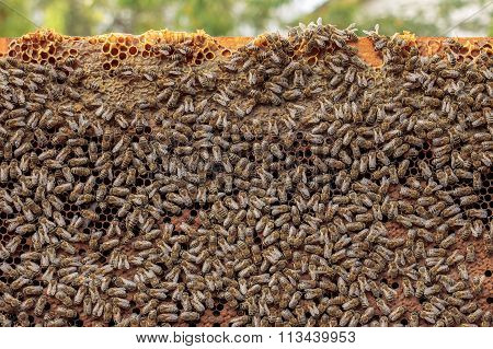Healthy Honey Bee Frame Covered With Bees, Capped Larvae Cells And Pollen