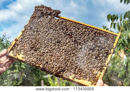 Apiarist Inspecting A Healthy Honey Bee Frame Covered With Bees
