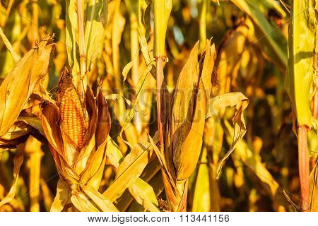 Dry Corn On The Stalk In The Field