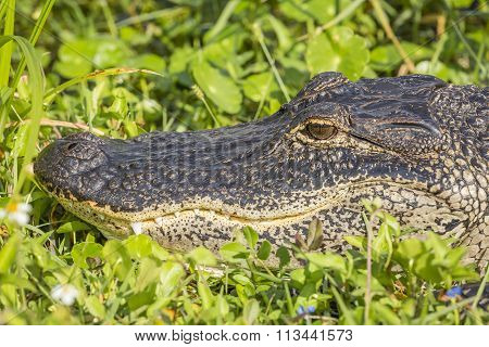 Closeup Of American Alligator