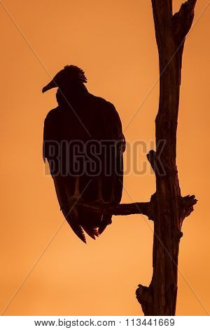 Black Vulture Roosting In A Tree At Sunset - Florida