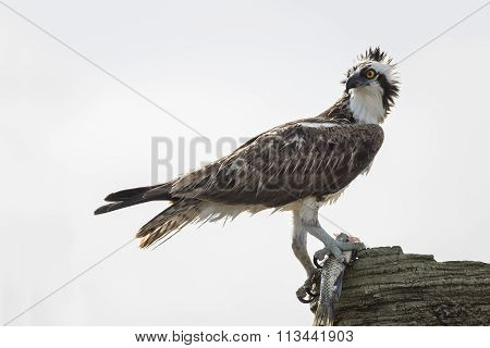 Osprey Eating A Fish - Melbourne, Florida