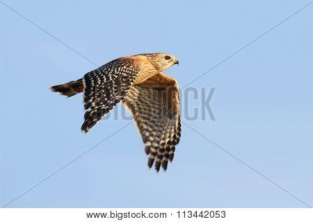 Red-shouldered Hawk In Flight - Florida
