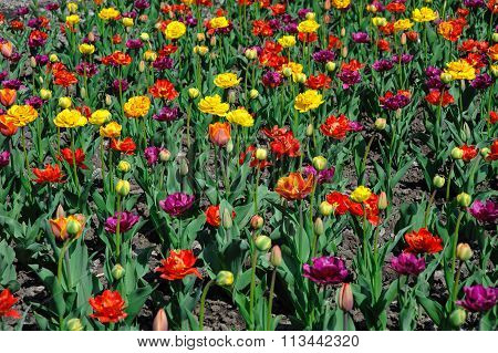 Multicolored Tulips And Pansy Flowers On Flowerbed