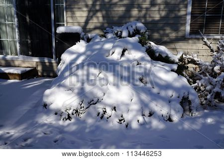 Snow Covers a Bush