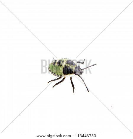 Green black shield bug isolated on a white background