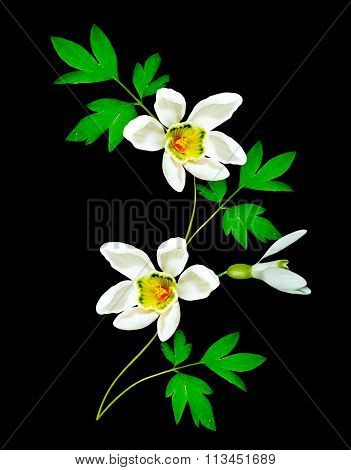 Snowdrop Flower Isolated On Black Background