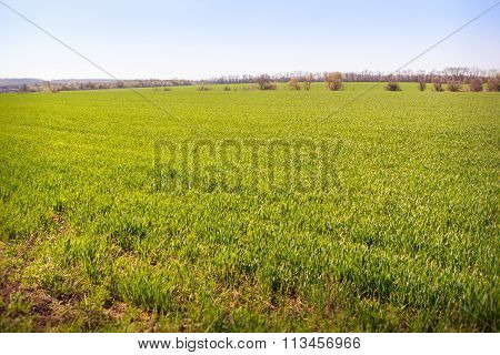 View Of Boundless Green Winter Wheat Field Upto Horizon