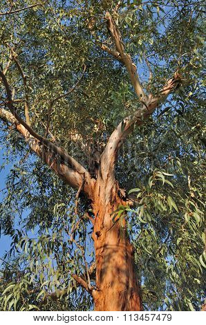 Close On Eucalyptus
