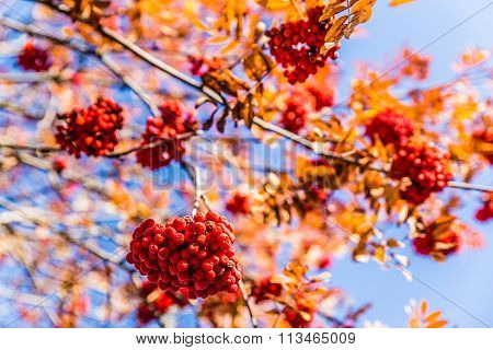 Detail Of Red Rowan Berry During Sunny Autumn Day
