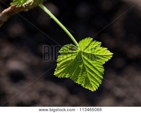 New Currant Leaf