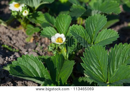 Garden Strawberry Bloom