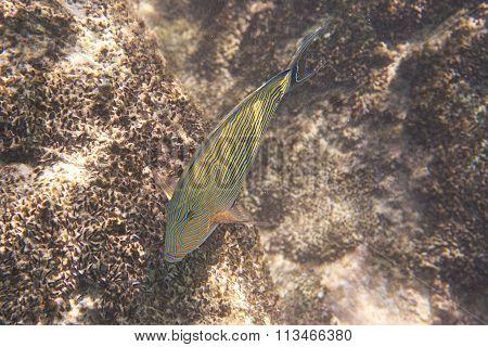 Clown surgeonfish in Indian Ocean near Seychelles.