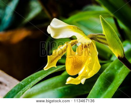 Beautiful Lady's Slipper Orchid