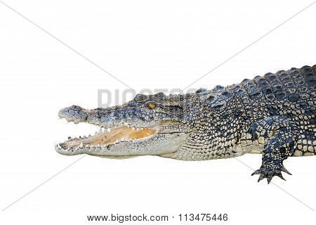 Saltwater Crocodile, Crocodylus Porosus, Jaws Open Wide On A White Background.