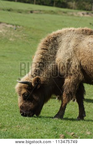 European Bison - Bison bonasus