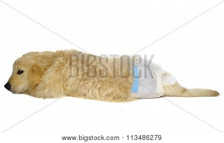 Golden Retriever Puppy In Dog Diapers Looks Down. With Shy Look.
