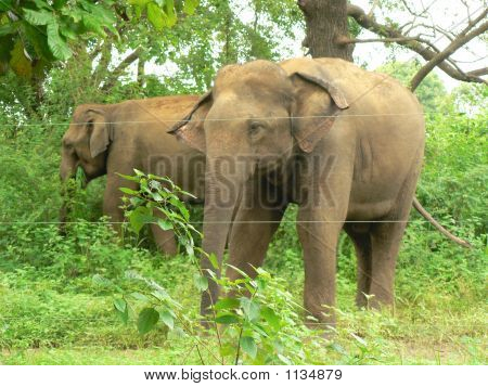 Wild Elephants In A Sanctuary