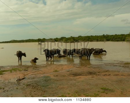 Wild Buffalos Resting In A Lake