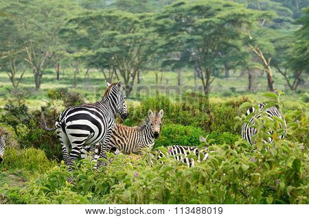 Wildlife Zebra In Africa