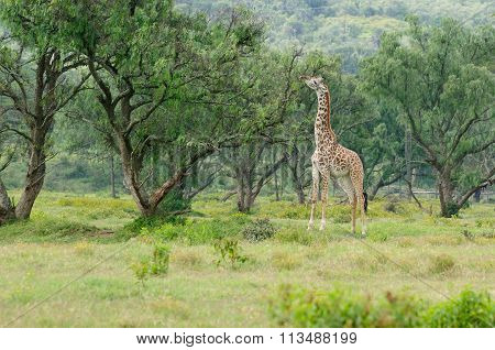 Wildlife Giraffe In Africa