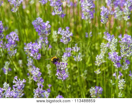 Bumble Bee (bombus Terrestris) On A Lavender Flower