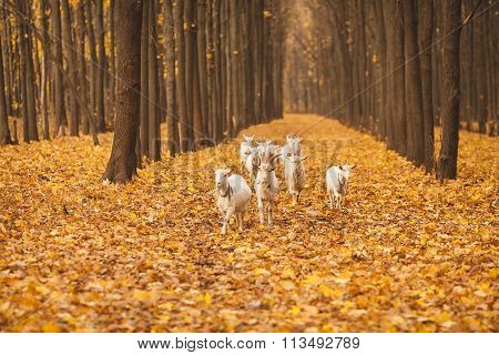 herd of goats in the forest