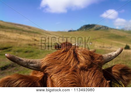 Red Cattle
