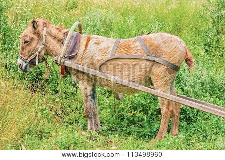 Harnessed  Donkey