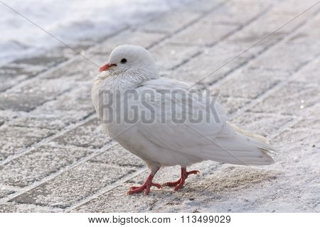 White Dove On The Road